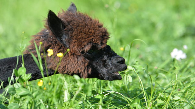 A shorn alpaca feeds on grass at Alpaca-Land farm in Unken in the Austrian province of Salzburg, Sunday July, 6, 2014. The annual shearing makes the animals more comfortable for the summer months. (Photo by Kerstin Joensson/AP Photo)