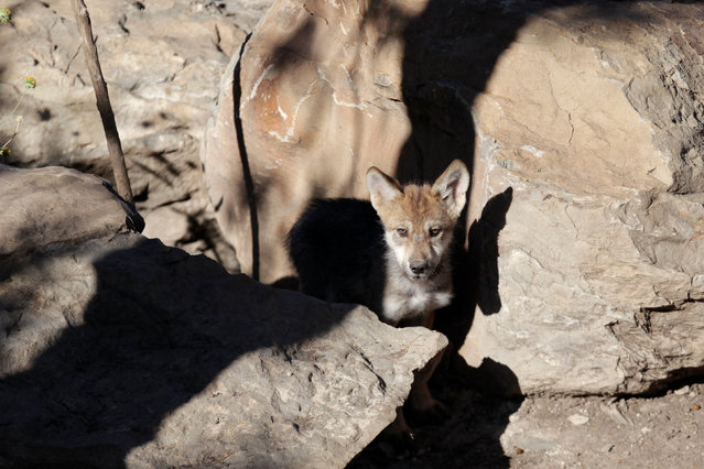 A newly born Mexican gray wolf cub, an endangered native species, is seen at its enclosure at the Museo del Desierto in Saltillo, Mexico, July 19, 2016. (Photo by Daniel Becerril/Reuters)