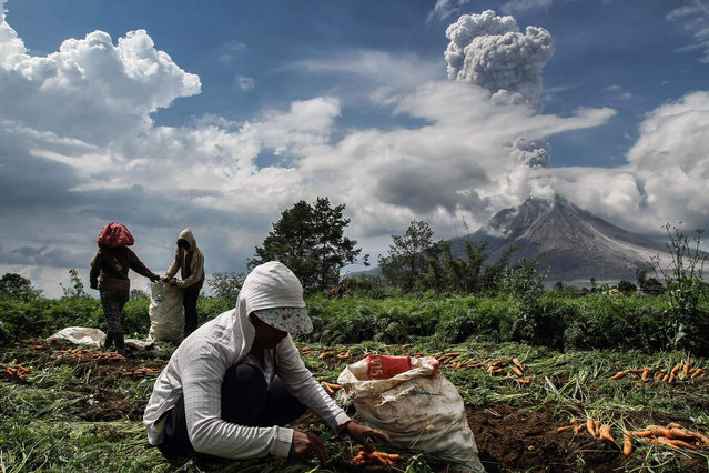 Indonesian farmers work in a field as Moung Sinabung volcano spews thick smoke in the background in Karo, North Sumatra on November 16, 2017. Mount Sinabung roared back to life in 2010 for the first time in 400 years, after another period of inactivity it erupted once more in 2013, and has remained highly active since. (Photo by Ivan Damanik/AFP Photo)