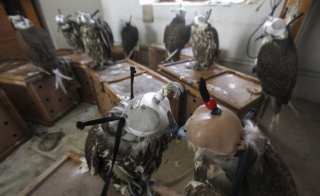 Falcons are seen at the offices of Sindh Wildlife Police after they were seized in Karachi, Pakistan October 13, 2015. Twenty-two falcons worth one million rupees ($9,600) each were seized by the Rangers paramilitary force after they were discovered during a snap inspection along a toll booth, as they were being smuggled from Peshawar to Karachi. The birds were later handed over to Sindh Wildlife Department, reported local media. (Photo by Akhtar Soomro/Reuters)