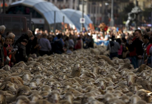 A sheep looks amidst of a flock of around 2000 merino sheep during the annual sheep parade through Madrid, Spain, October 25, 2015. (Photo by Sergio Perez/Reuters)