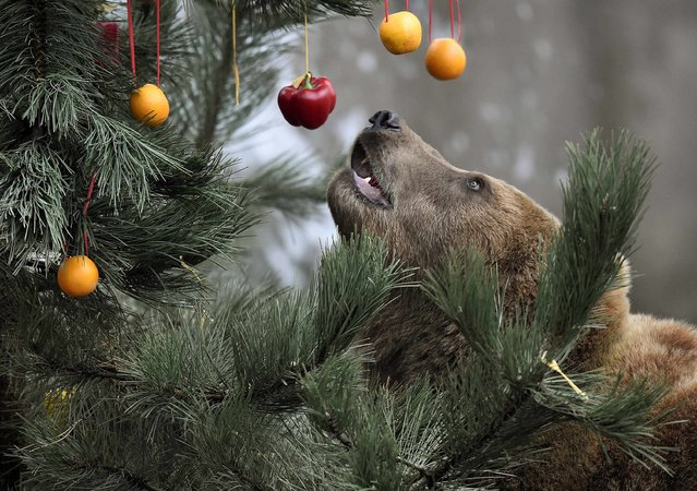 Kamchatka Brown Bear Mascha stands beside a Christmas tree, decorated with fruits and fish, at Hagenbecks zoo in Hamburg, northern Germany on December 5, 2014. (Photo by Fabian Bimmer/Reuters)