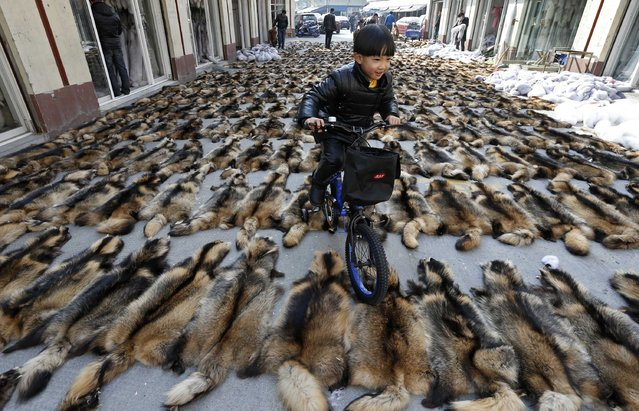 A boy rides his bicycle over the fur of raccoon dogs at a fur market in Chongfu township, Zhejiang province, December 20, 2014. The 100-square-kilometre Chongfu township, which houses over 100,000 residents in Eastern China's Zhejiang province, is known as the biggest fur design, research, production and export centre in China. The township is also home to 1,469 fur companies, according to its government website. (Photo by William Hong/Reuters)