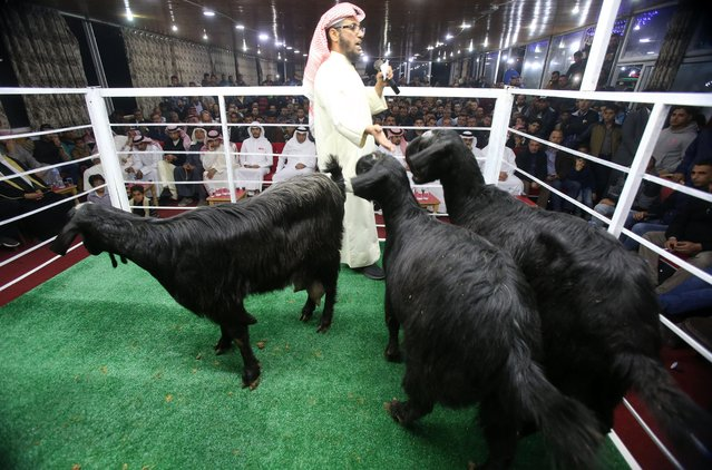 Rashid al-Naser, a Kuwaiti animal breeder leads the auction for rare levant goat auction and exhibition on April, 27, 2018, in Amman, Jordan. (Photo by Salah Malkawi/Getty Images)
