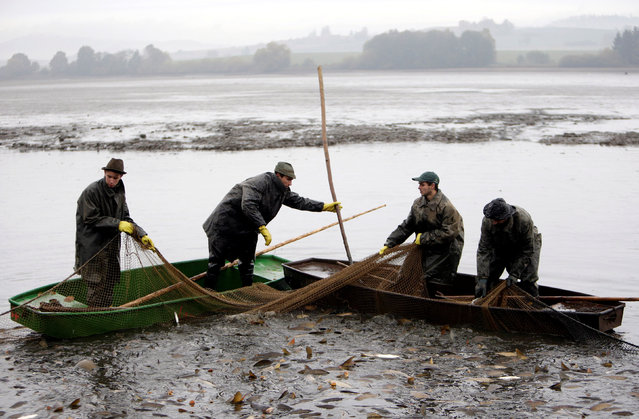 Fishermen pull a net containing fish from a pond during the traditional carp haul near the village of Belcice, Czech Republic, October 25, 2016. (Photo by David W. Cerny/Reuters)