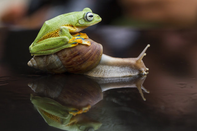 Frog legs it! Indonesian flying frog tries to hitch a ride on snail's back before realising it would be quicker to hop it alone. A tiny frog struck up an unlikely friendship with a giant African land snail after clambering onto its shell to catch a ride. (Photo by Hendy Mp/SOLENT/Visual Press Agency)