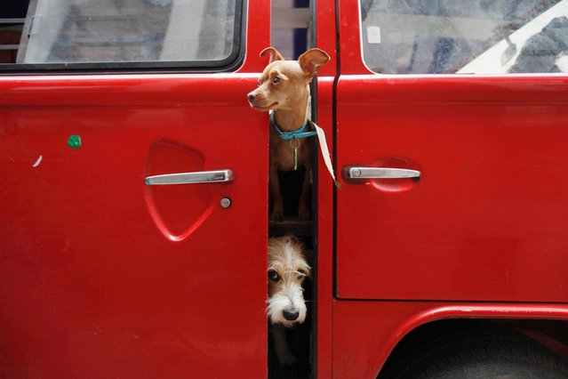 Dogs look out from a car in Mexico City, on July 20, 2013. Robbery and kidnapping of breed dogs have quadrupled during the last few years in Mexico, according to animal care and control organizations. (Photo by Edgard Garrido/Reuters)