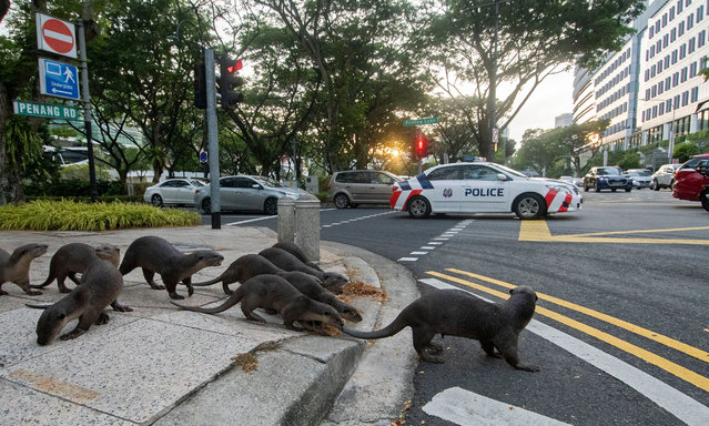 "A pack of wild smooth-coated otters, nicknamed the ""Zouk family"", crosses Penang Road in Singapore on March 3, 2021, the World Wildlife Day. The ""Zouks"", a well-known otter family in Singapore, started out from the Istana on Wednesday, and made a ""royal"" tour of various landmarks in Singapore. (Photo by Chine Nouvelle/SIPA Press/Rex Features/Shutterstock)"