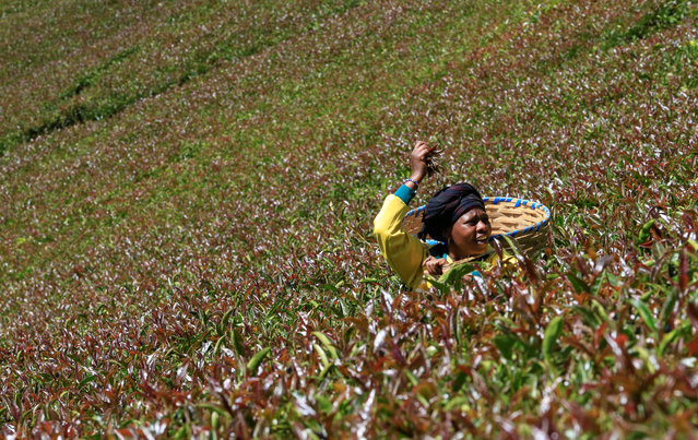 A worker picks purple tea leaves named TRFK 306/1, a clone by the Tea Research Foundation of Kenya, at the Gatura Greens purple tea plantation in Gatura settlement of Muranga county, Kenya on January 30, 2021. (Photo by Thomas Mukoya/Reuters)