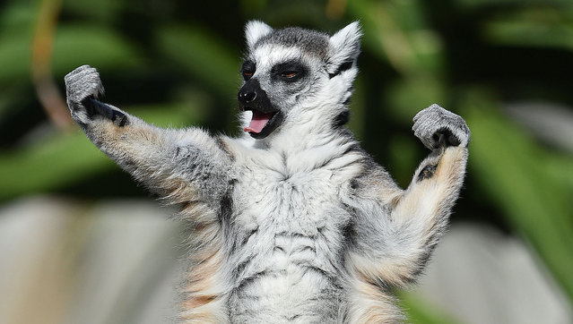 A ring-tailed lemur sunbakes at Melbourne Zoo in Melbourne, Victoria, Australia on December 21 2016. (Photo by Julian Smith/EPA)