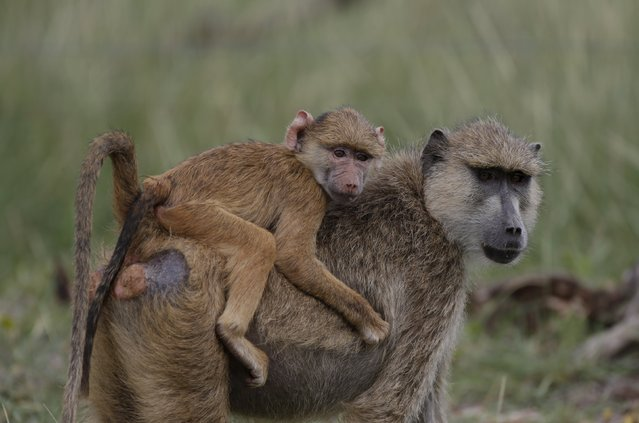 An Olive baboon carries her baby in Amboseli National park, Kenya, February 11, 2016. (Photo by Goran Tomasevic/Reuters)