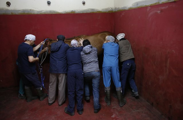 A racehorse loses consciousness after being anaesthetised in the induction and recovery box at Veliefendi equine hospital in Istanbul March 3, 2015. (Photo by Murad Sezer/Reuters)