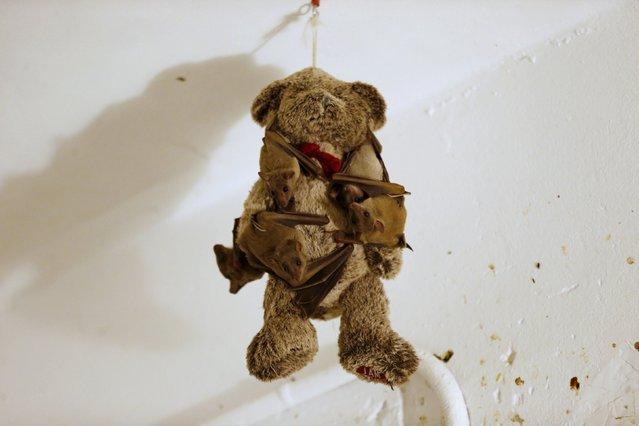 Injured Egyptian fruit bats hang on a teddy bear at the home of Israeli woman, Nora Lifschitz, 28, in Tel Aviv February 21, 2016. (Photo by Baz Ratner/Reuters)