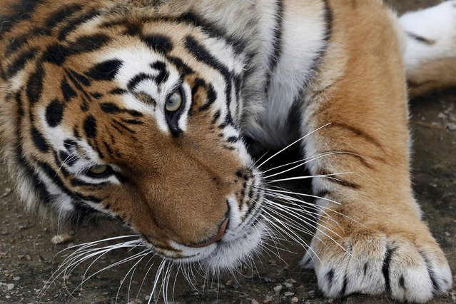 Yunona, a three-year-old female Amur tiger, lies inside an open-air cage at the Royev Ruchey Zoo on the suburbs of the Siberian city of Krasnoyarsk, Russia, April 28, 2015. (Photo by Ilya Naymushin/Reuters)
