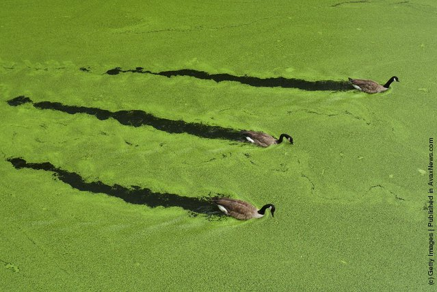 Canada geese swim along a stretch of the Regent's Canal in Camden amidst green algae