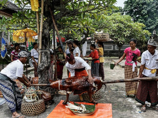 Villagers put down the roasted pig in Dalem Temple at Timbrah Village in Karangasem. (Photo by Putu Sayoga/Getty Images)