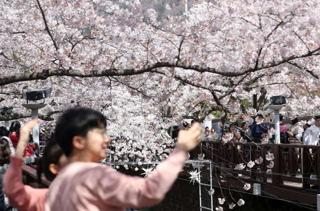 Tourists take photographs at a creek in the southeastern city of Changwon, South Korea, 31 March 2019, one day ahead of a 10-day cherry blossom festival in the region. (Photo by EPA/EFE/Yonhap)