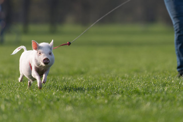 "Miniature pig ""Nueffel"" is walked in a park in Hanover, Germany, 14 April 2016. (Photo by Sebastian Gollnow/EPA)"
