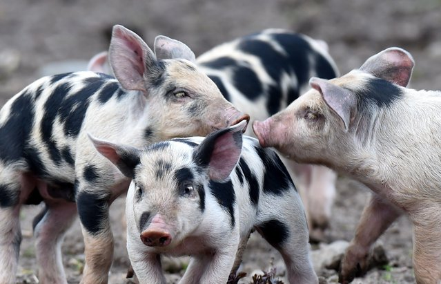 Bentheim Black Pied piglets play in an enclosure of the Tierpark Arche Warder animal park on March 24, 2014 in Warder, northwestern Germany. Bentheim Black Pied pigs, also known as Buntes Bentheimer Schwein, is a rare breed of domestic pic in Germany. (Photo by Carsten Rehder/AFP Photo/DPA)