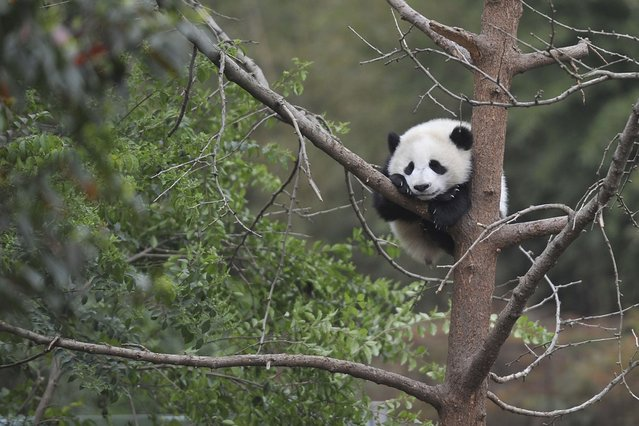A giant panda cub lies on a tree branch at the Chengdu Research Base of Giant Panda Breeding, Sichuan province. (Photo by Reuters/Stringer)