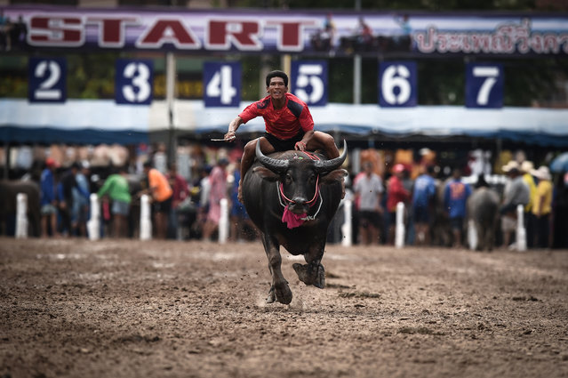 A jockey races a buffalo during the annual Chonburi Buffalo Race in Chonburi on October 12, 2019. Whip-wielding jockeys ride bulls bareback at Thailand's annual buffalo race, a decades-old tradition to celebrate the animals' hard work in the field in a country where they are increasingly being replaced by machines. (Photo by Lillian Suwanrumpha/AFP Photo)
