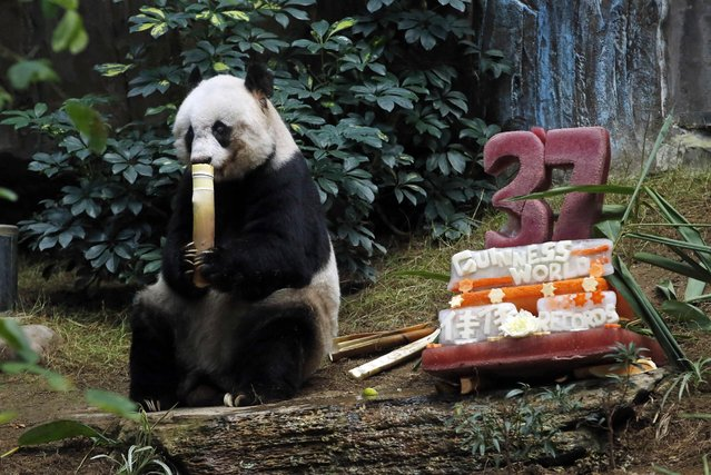 Giant panda Jia Jia enjoys her birthday cake made with ice and vegetables at Ocean Park in Hong Kong, Tuesday, July 28, 2015 as she celebrates her 37-year-old birthday. (Photo by Kin Cheung/AP Photo)