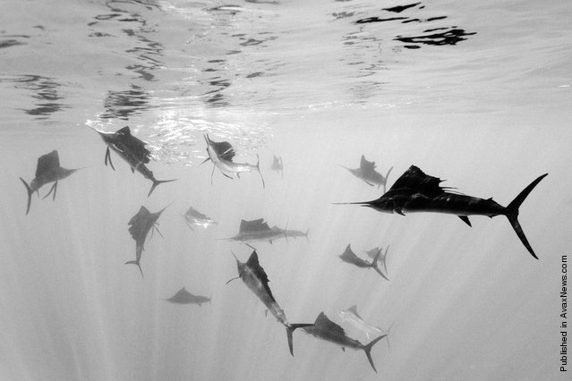 In this photo released by World Press Photo, the 2nd Prize Nature Single of the 2011 World Press Photo Contest by Reinhard Dirscherl, Germany, shows Atlantic sailfish attacking Spanish sardines, off Yucatan Peninsula, Mexico