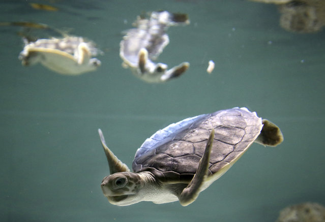 Baby flatback sea turtle are fed at the Sea Life Sydney Aquarium in Sydney, Friday, July 7, 2017. Uniquely Australian and a vulnerable species, the tiny turtles were rescued after being trapped in their nest and will be released back into the wild after in early 2018. (Photo by Rick Rycroft/AP Photo)