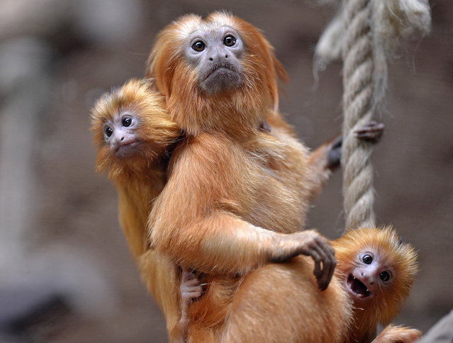 Two little golden lion tamarins hang on their father at the zoo in Duisburg, Germany on May 3, 2012. The small twins were born only six weeks ago