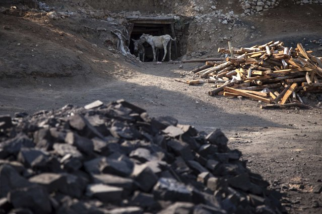 Donkeys stand at the entrance of a coal mine in Choa Saidan Shah, Punjab province, May 5, 2014. (Photo by Sara Farid/Reuters)