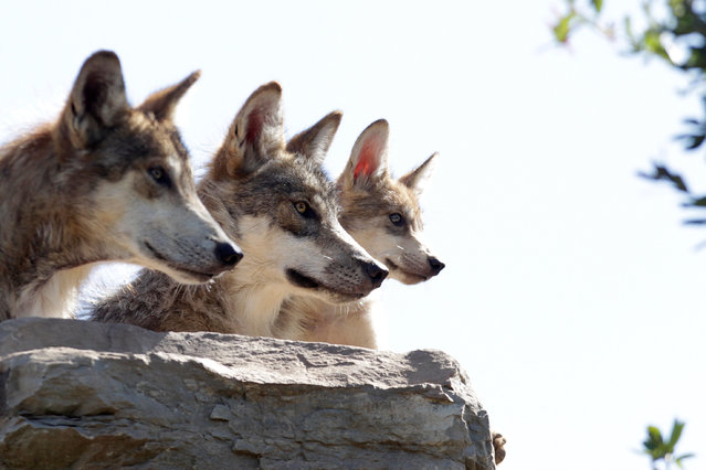 A wolf pack, an endangered native species, are seen at their enclosure at the Museo del Desierto in Saltillo, Mexico, July 19, 2016. (Photo by Daniel Becerril/Reuters)
