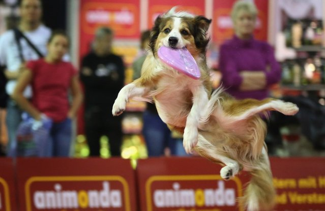 Summit, an Australian shepherd, makes a leaping catch of a frisbee at the pet trade fair (Heimtiermesse) at Velodrom on November 2, 2012 in Berlin, Germany. Exhibitors are showing the latest trends in collars, snacks and other accessories for cats, dogs and other household pets.  (Photo by Sean Gallup)
