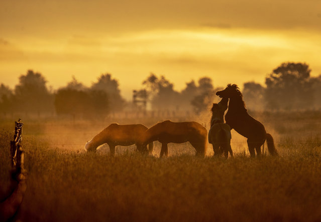 Icelandic horses play on a stud farm in Wehrheim Frankfurt, Germany, as the sun rises on Thursday, May 21, 2020. (Photo by Michael Probst/AP Photo)