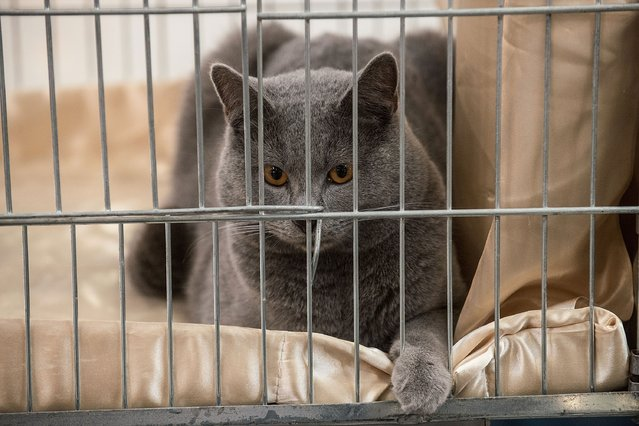 A cat is kept in a cage during the first day of the Super Cat Show 2014, on November 8, 2014 in Rome, Italy. (Photo by Giorgio Cosulich/Getty Images)