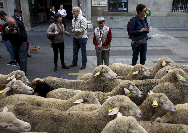 People stand beside a flock of around 2000 merino sheep during the annual sheep parade through Madrid, Spain, October 25, 2015. (Photo by Sergio Perez/Reuters)