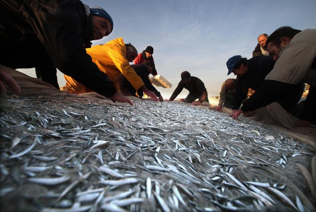 Fishermen collect young fishes in their net during the traditional Poutine fishing in Cagnes-Sur-Mer, southeastern France, March 22, 2013. Poutine are minute baby sardines which are exclusively fished between Antibes and Menton on the French Riviera for only 45 days each year at the end of the winter and fetch around 30 Euros per kilos at market. (Photo by Eric Gaillard/Reuters)