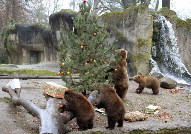 Kamchatka Brown Bear Mascha and her three cubs are seen during a Christmas feeding session at Hagenbecks zoo in Hamburg, northern Germany on December 5, 2014. (Photo by Fabian Bimmer/Reuters)