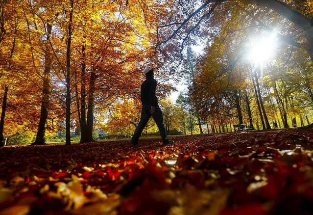 Autumn coloured leaves are pictured during a sunny autumn day in the western Austrian city of Innsbruck, Austria October 30, 2015. (Photo by Dominic Ebenbichler/Reuters)