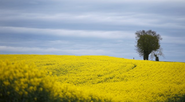 A tree is pictured in a blooming rapeseed field near Mareuil in the Dordogne region of France April 14, 2016. (Photo by Phil Noble/Reuters)