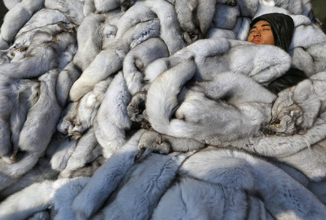 A worker sleeps among fox fur at a fur market in Chongfu township, Zhejiang province, December 20, 2014. (Photo by William Hong/Reuters)
