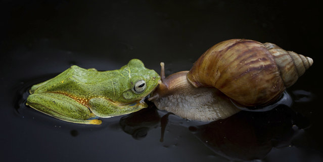 Shell we go for a ride? A tiny frog and snail make an unlikely pair of friends as they playfully fool around together. The bright green frog looks like it's giving the snail a quick kiss before it starts climbing onto its shell. But the little snail doesn't seem to mind as its new friend explores his shell for 10 minutes – and even sits on top for a while. (Photo by Hendy Mp/SOLENT/Visual Press Agency)