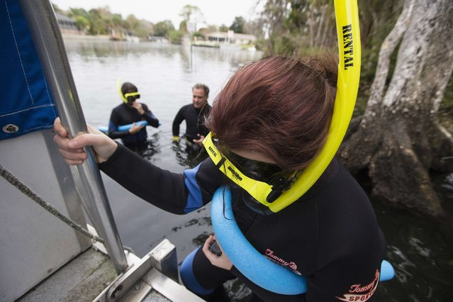 Gina Hall climbs down the dive ladder on her way to snorkel in the Three Sisters Springs in Crystal River, Florida January 15, 2015. (Photo by Scott Audette/Reuters)