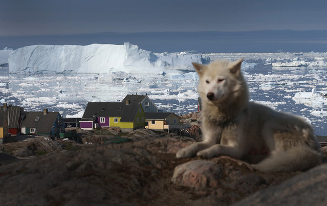 A sled dog rests near houses, with icebergs in the background from Jakobshavn Glacier, in Ilulissat, on July 17, 2013. (Photo by Joe Raedle/Getty Images via The Atlantic)