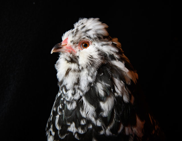 A rare Mottled Araucana is seen at the National Poultry Show on November 20, 2016 in Telford, England. (Photo by Leon Neal/Getty Images)