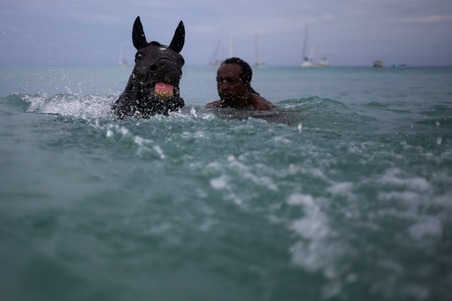 A handler swims with a horse from the Garrison Savannah in the Caribbean Sea near Bridgetown, Barbados November 30, 2016. (Photo by Adrees Latif/Reuters)