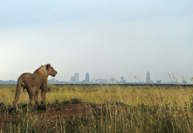 A young lion looks towards the skyline in Kenya's Nairobi national park. The park faces threats of habitat loss, a decline in wildlife species and government infrastructure developments. According to National Geographic, 200,000 lions roamed across Africa a century ago. Today, there are fewer than 30,000. (Photo by Tony Karumba/AFP Photo)