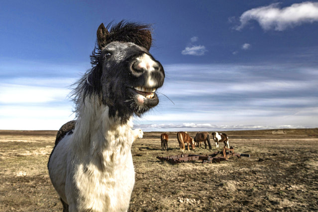 A horse smiles at the camera. (Photo by Bragi J. Ingibergsson/Caters News)