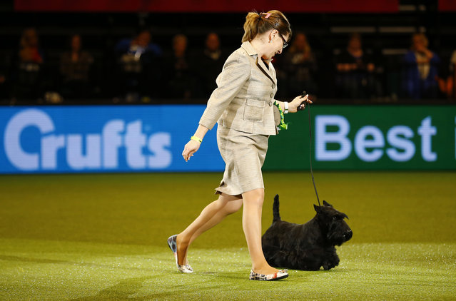 Handler Rebecca Cross shows Knopa the Scottish Terrier to the Best in Show judge during the last day of Crufts Dog Show in Birmingham, central England, March 8, 2015. (REUTERS/Darren Staples)