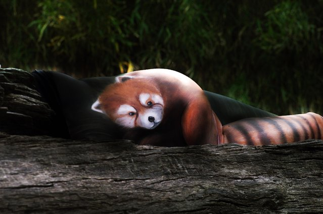 Using body paint and a woodland like location, Gesine appears to have created a model to look just like a red panda, Dortmund, Germany, October, 2016. An artist brings animals to life using body paint and contorted models. At first glance, these images could be mistaken for portraits of wildlife in their natural habitat were created with paper and paint. However, they are actually the incredible works of illusion by talented body painter Gesine Marwedel, who paints models to creates realistic animals. Marwedel, 29, from Dortmund, Germany has always been fascinated by the concept of transferring her designs to human bodies and her latest project features models posing in contorted positions. One image appears to show an elegant swan in a park pond, whilst another picture shows a mother penguin and its chick in a snowy landscape. (Photo by Gesine Marwedel/Barcroft Images)