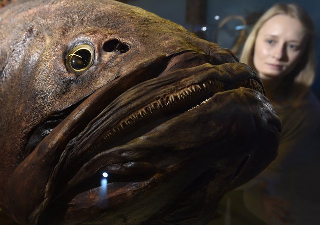"Museum employee Victoria views a giant grouper fish specimen at the Natural History Museum in west London March 25, 2015. It forms part of a new exhibition, ""Coral Reefs: Secret Cities of the Sea"", featuring a panoramic virtual dive and over 250 specimens from the Museum's coral, fish and marine invertebrate collection, which opens on March 27. (Photo by Toby Melville/Reuters)"
